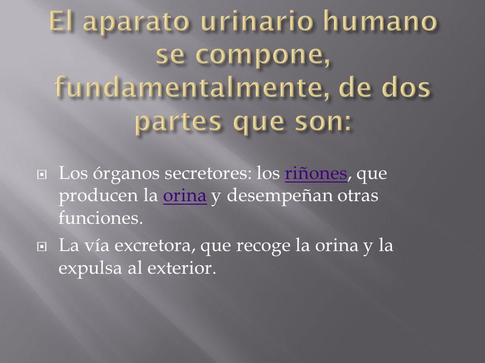El aparato urinario humano se compone, fundamentalmente, de dos partes que son: