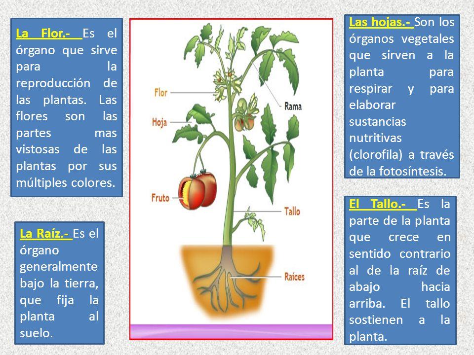 Las hojas.- Son los órganos vegetales que sirven a la planta para respirar y para elaborar sustancias nutritivas (clorofila) a través de la fotosíntesis.