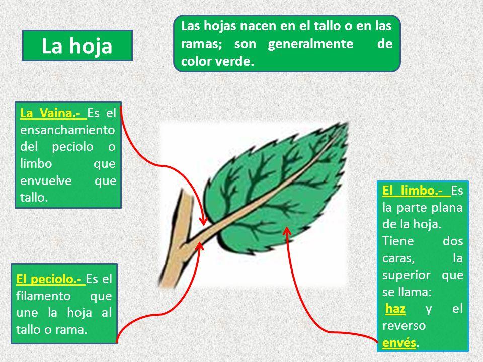 Las hojas nacen en el tallo o en las ramas; son generalmente de color verde.