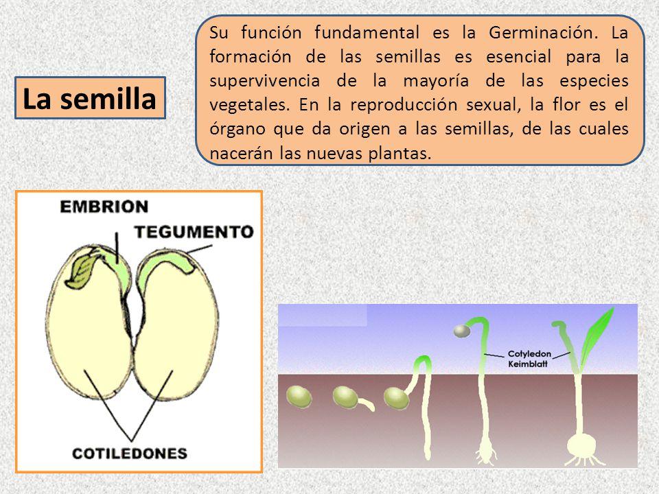 Su función fundamental es la Germinación