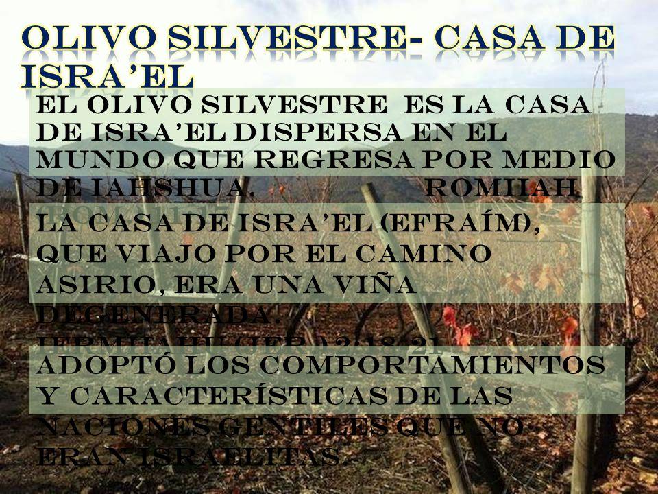 OLIVO SILVESTRE- CASA DE ISRA'EL