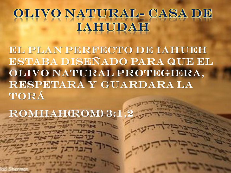 OLIVO NATURAL- CASA DE IAHUDAH