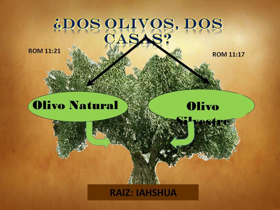 ¿DOS OLIVOS, DOS CASAS Olivo Natural Olivo Silvestre RAIZ: IAHSHUA