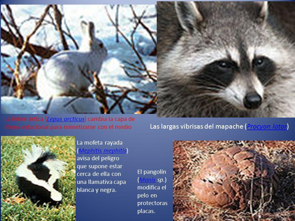 Las largas vibrisas del mapache (Procyon lotor)