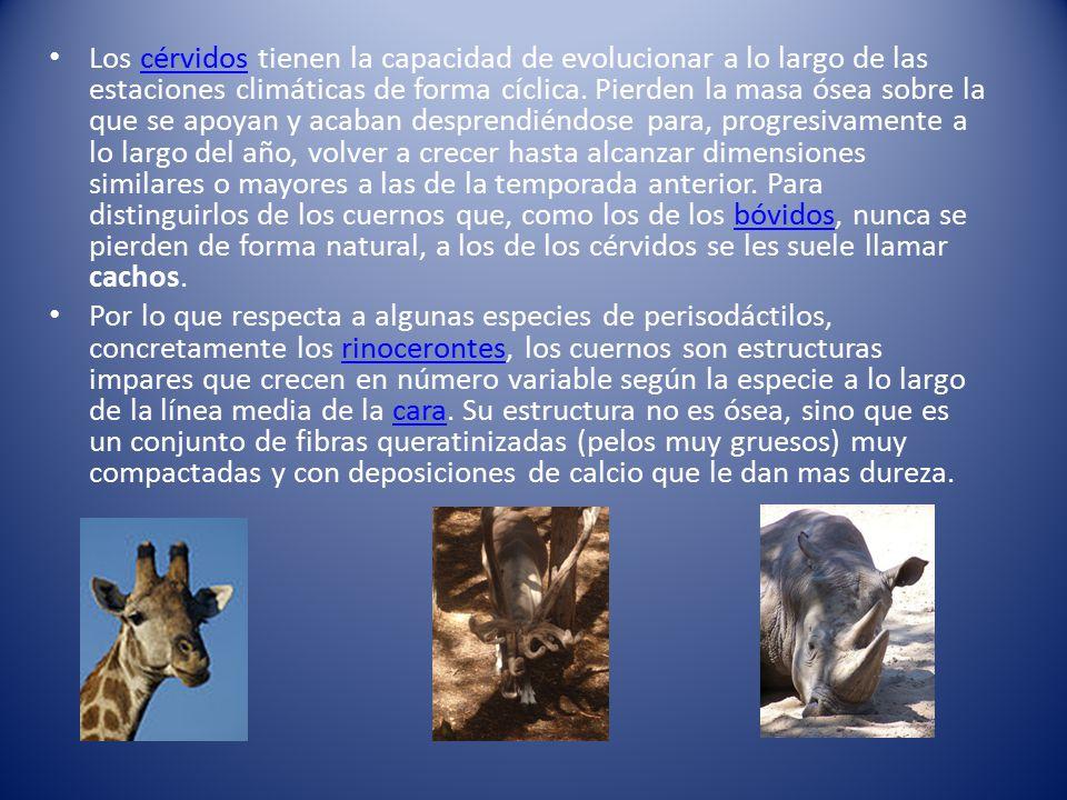Los cérvidos tienen la capacidad de evolucionar a lo largo de las estaciones climáticas de forma cíclica. Pierden la masa ósea sobre la que se apoyan y acaban desprendiéndose para, progresivamente a lo largo del año, volver a crecer hasta alcanzar dimensiones similares o mayores a las de la temporada anterior. Para distinguirlos de los cuernos que, como los de los bóvidos, nunca se pierden de forma natural, a los de los cérvidos se les suele llamar cachos.
