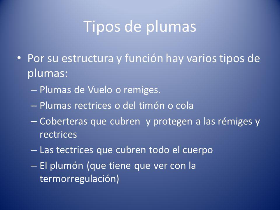 Tipos de plumas Por su estructura y función hay varios tipos de plumas: Plumas de Vuelo o remiges.