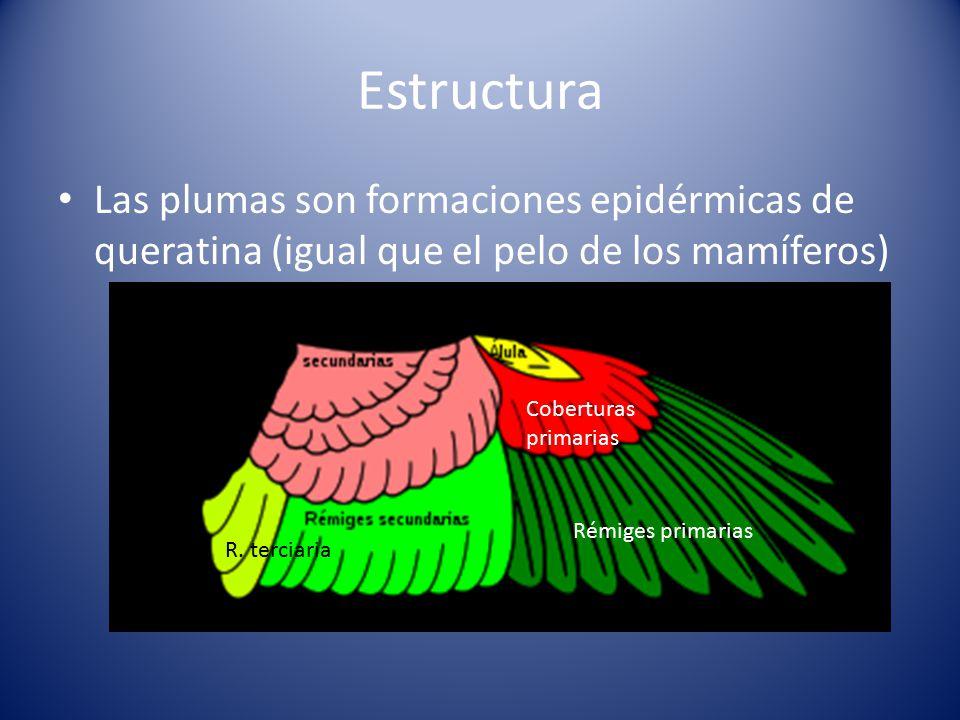 Estructura Las plumas son formaciones epidérmicas de queratina (igual que el pelo de los mamíferos)