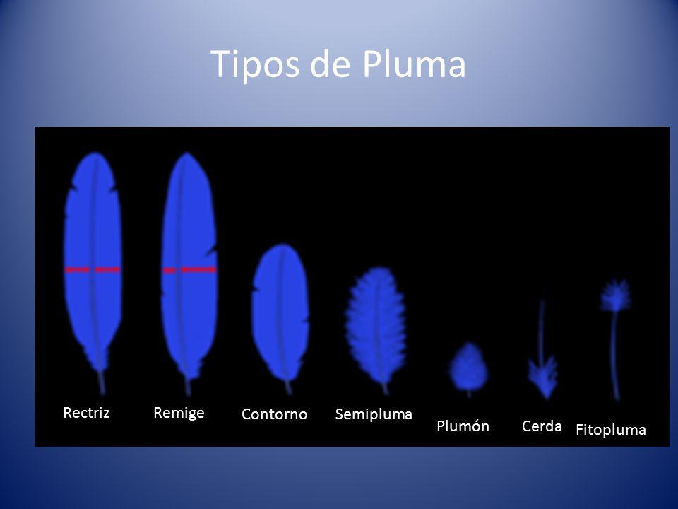 Tipos de Pluma Rectriz Remige Contorno Semipluma Plumón Cerda