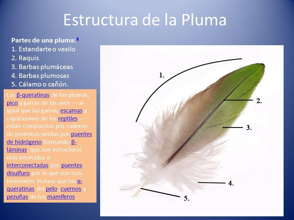 Estructura de la Pluma Partes de una pluma:4 1. Estandarte o vexilo 2. Raquis 3. Barbas plumáceas 4. Barbas plumosas 5. Cálamo o cañón.