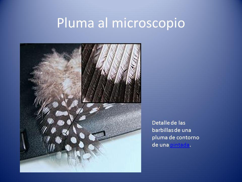 Pluma al microscopio Detalle de las barbillas de una pluma de contorno de una pintada.