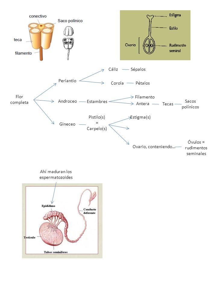 Óvulos = rudimentos seminales Ovario, conteniendo…