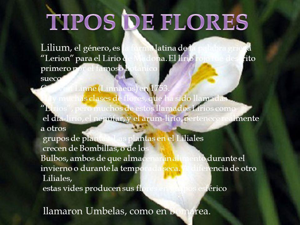 TIPOS DE FLORES Lilium, el género, es la forma latina de la palabra griega. Lerion para el Lirio de Madona. El lirio rojo fue descrito.