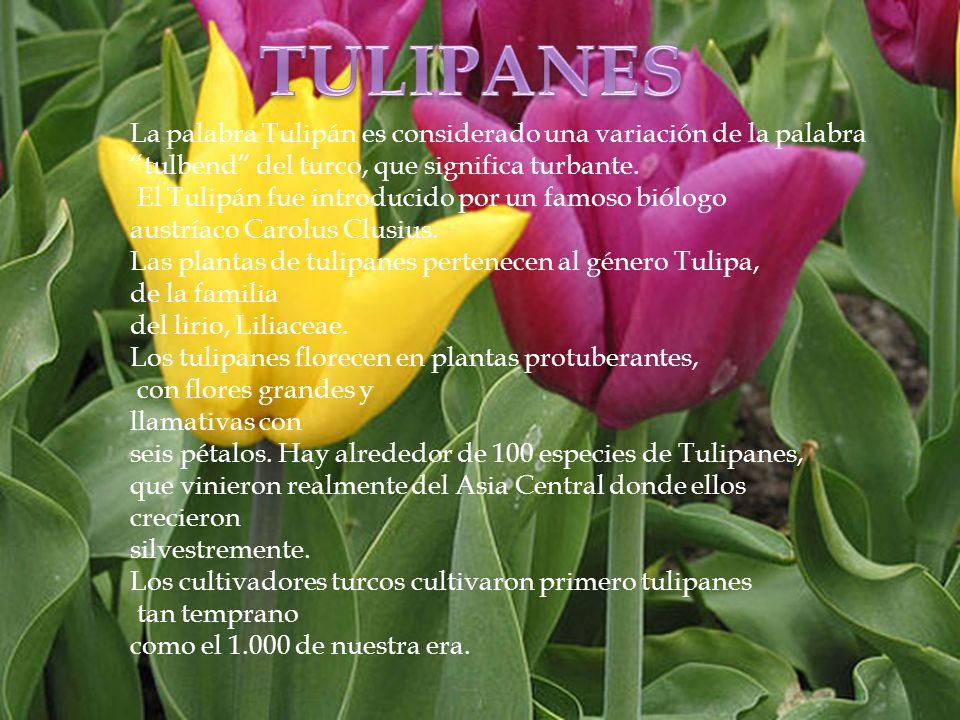 TULIPANES La palabra Tulipán es considerado una variación de la palabra. tulbend del turco, que significa turbante.