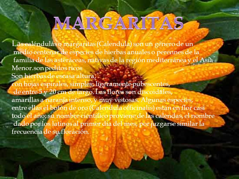MARGARITAS Las caléndulas o margaritas (Calendula) son un género de un