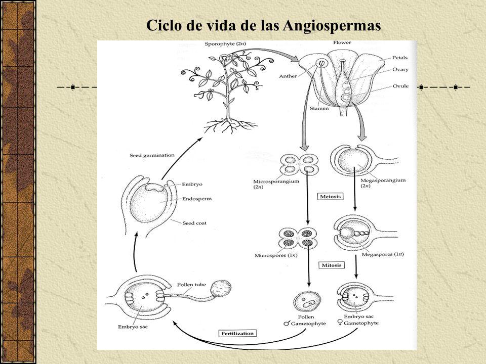 Ciclo de vida de las Angiospermas