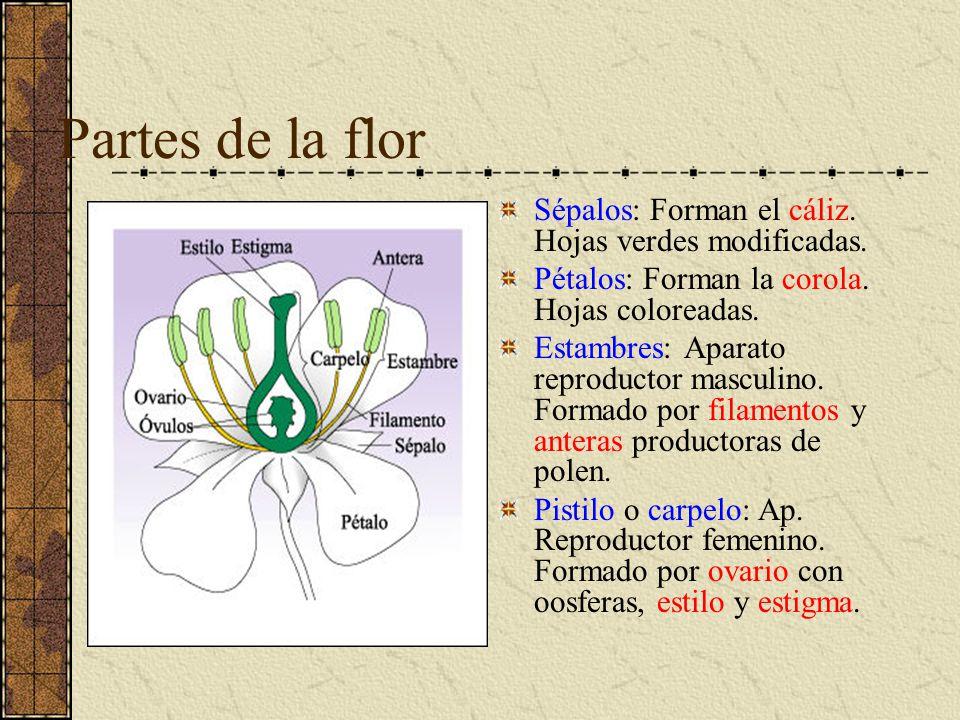 Partes de la flor Sépalos: Forman el cáliz. Hojas verdes modificadas.