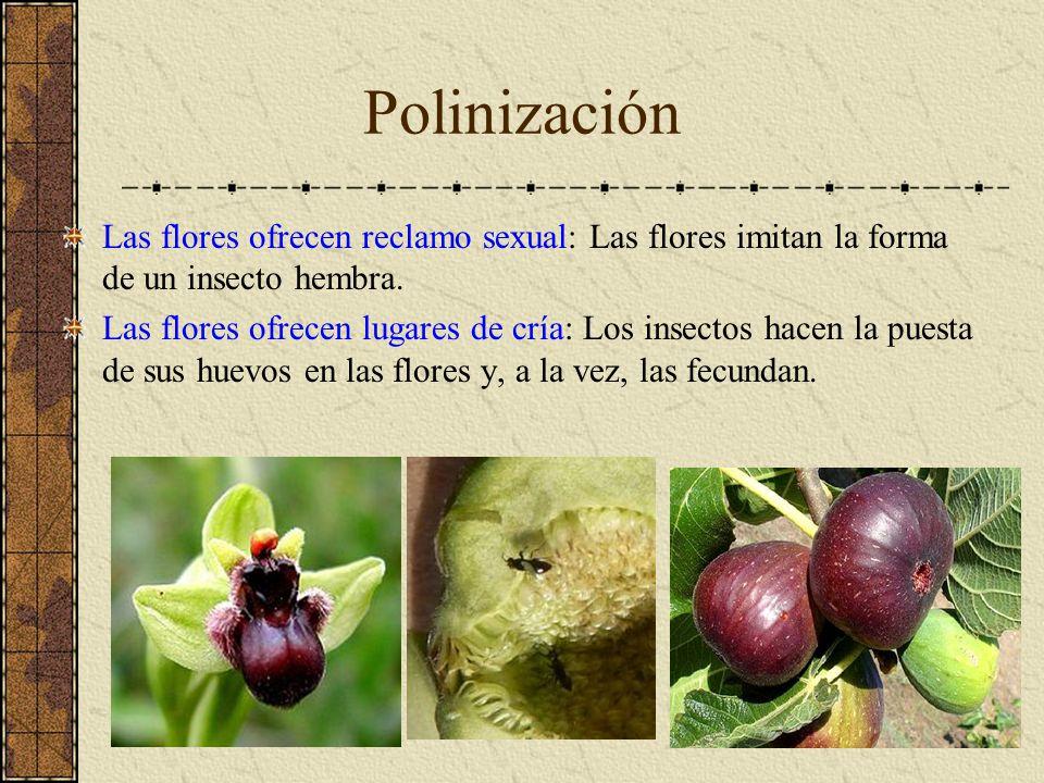 Polinización Las flores ofrecen reclamo sexual: Las flores imitan la forma de un insecto hembra.