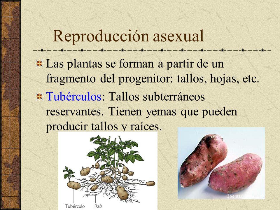 Reproducción asexual Las plantas se forman a partir de un fragmento del progenitor: tallos, hojas, etc.