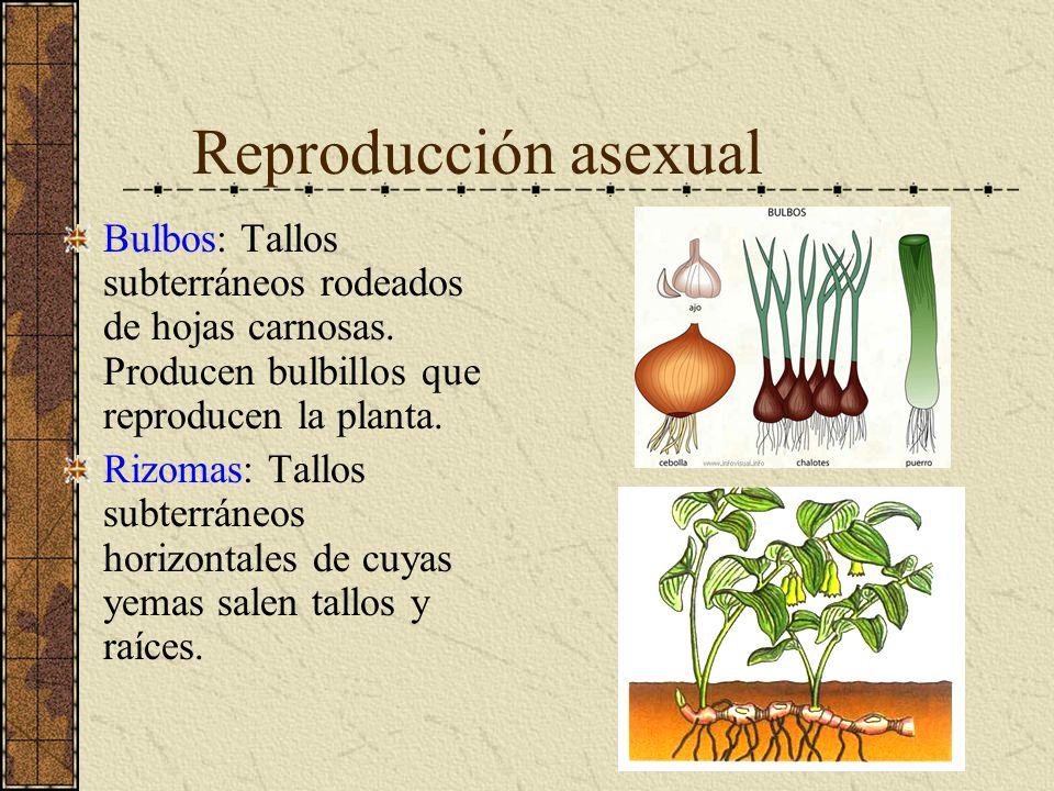 Reproducción asexual Bulbos: Tallos subterráneos rodeados de hojas carnosas. Producen bulbillos que reproducen la planta.