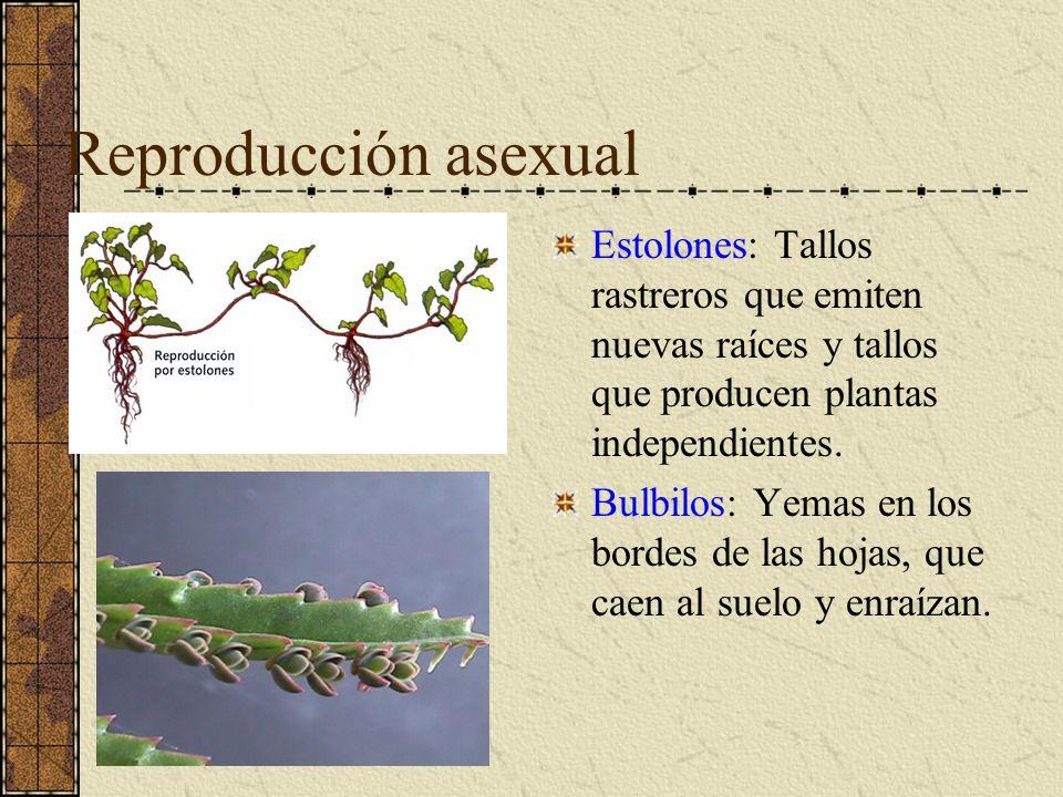 Reproducción asexual Estolones: Tallos rastreros que emiten nuevas raíces y tallos que producen plantas independientes.