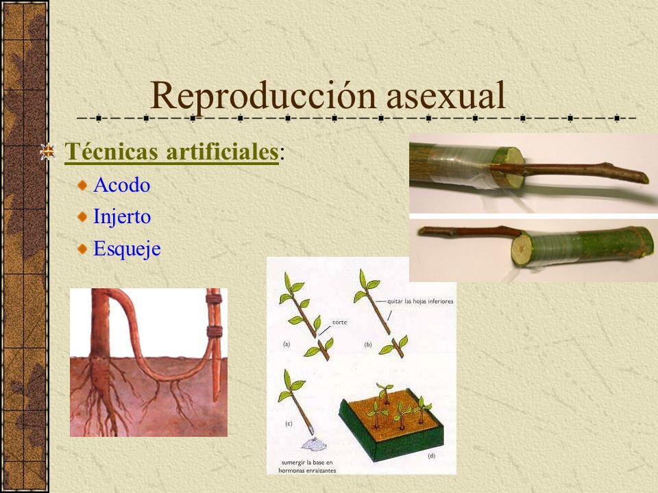 Reproducción asexual Técnicas artificiales: Acodo Injerto Esqueje