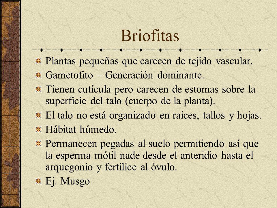 Briofitas Plantas pequeñas que carecen de tejido vascular.