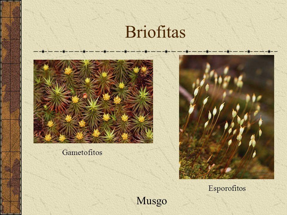 Briofitas Gametofitos Esporofitos Musgo