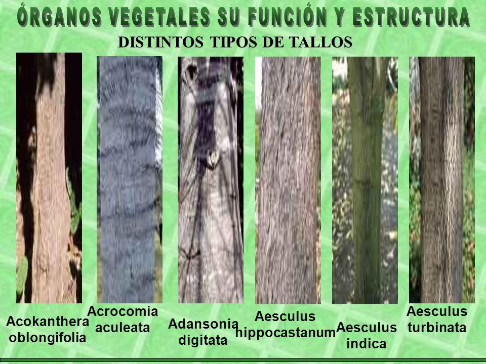 Aesculus hippocastanum Acokanthera oblongifolia