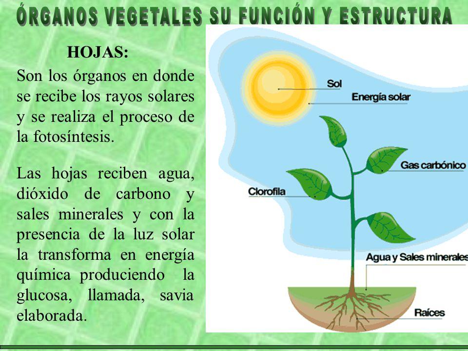 HOJAS: Son los órganos en donde se recibe los rayos solares y se realiza el proceso de la fotosíntesis.