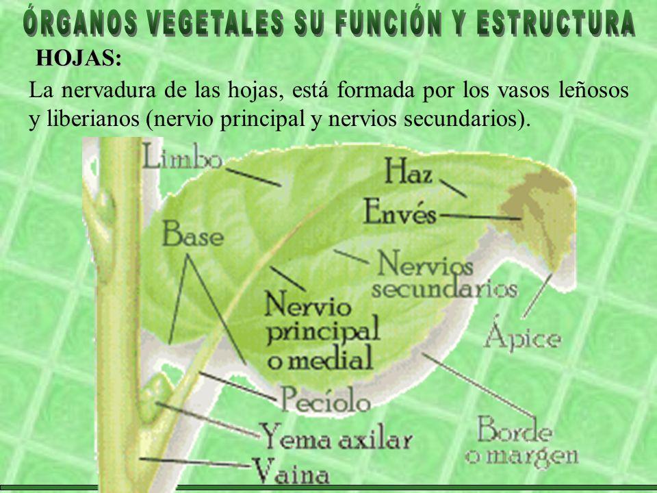 HOJAS: La nervadura de las hojas, está formada por los vasos leñosos y liberianos (nervio principal y nervios secundarios).