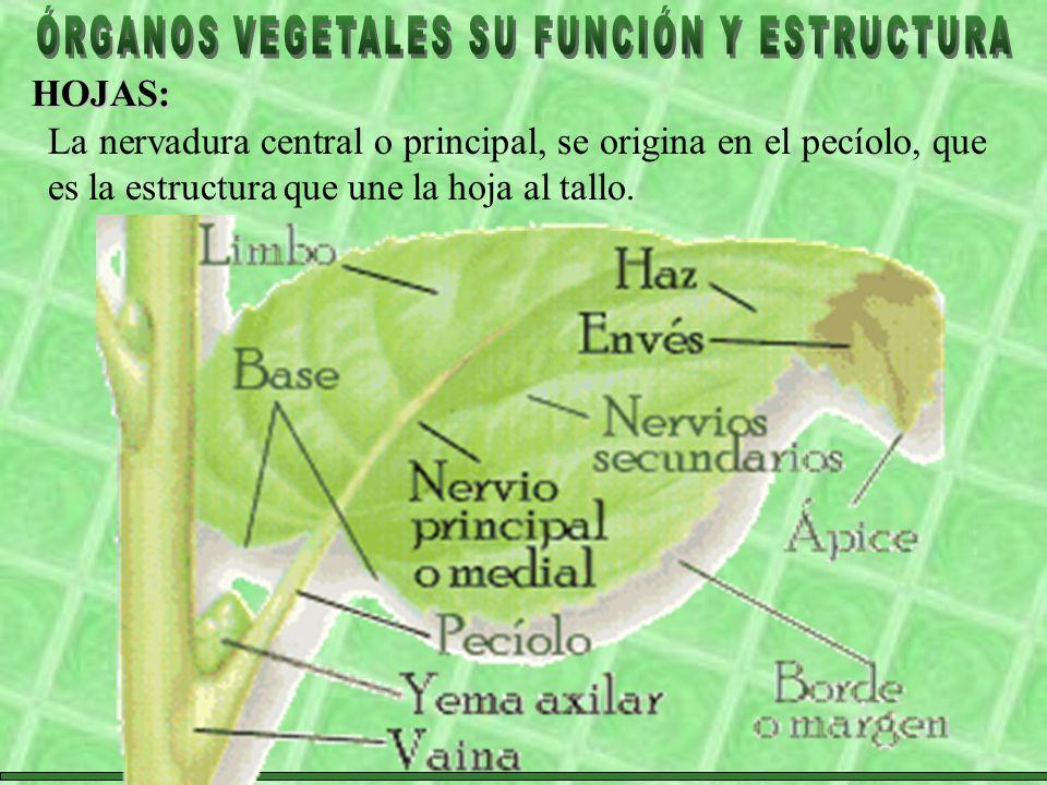 HOJAS: La nervadura central o principal, se origina en el pecíolo, que es la estructura que une la hoja al tallo.
