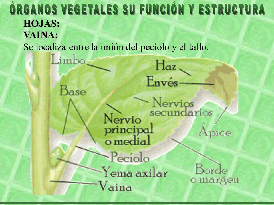 HOJAS: VAINA: Se localiza entre la unión del pecíolo y el tallo.