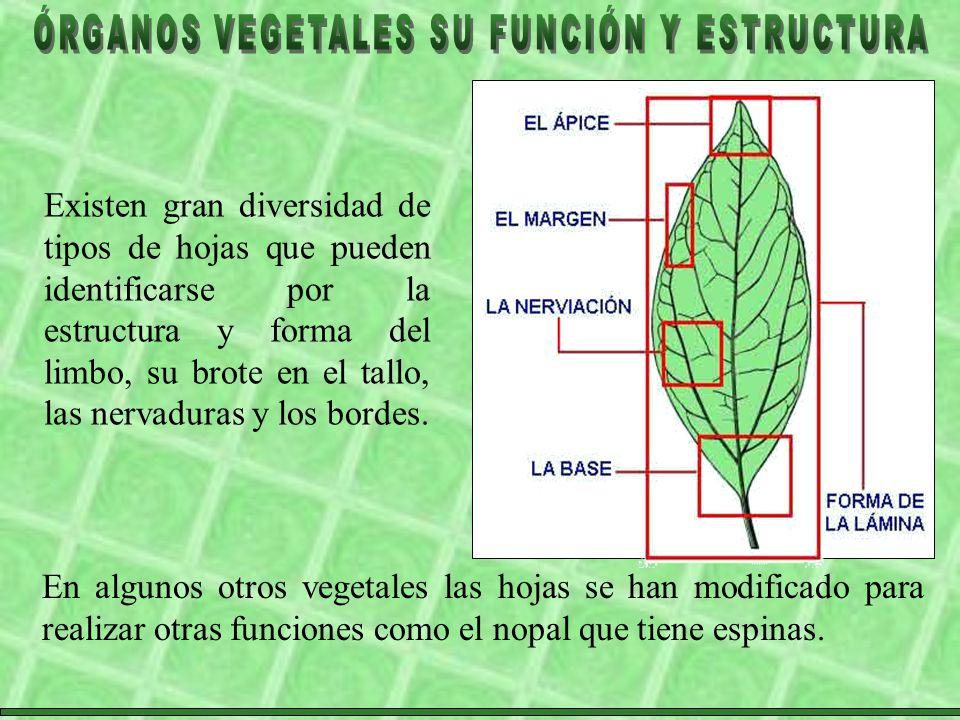 Existen gran diversidad de tipos de hojas que pueden identificarse por la estructura y forma del limbo, su brote en el tallo, las nervaduras y los bordes.