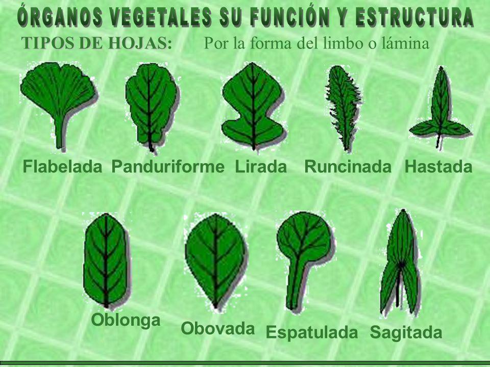 TIPOS DE HOJAS: Por la forma del limbo o lámina. Flabelada. Panduriforme. Lirada. Runcinada. Hastada.