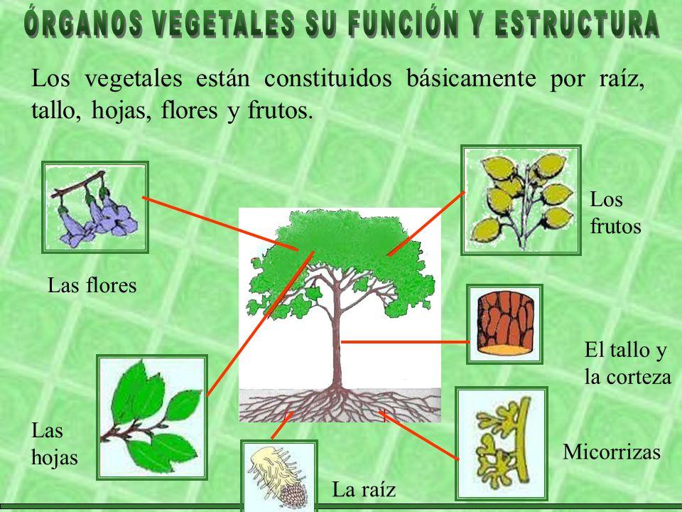 Los vegetales están constituidos básicamente por raíz, tallo, hojas, flores y frutos.