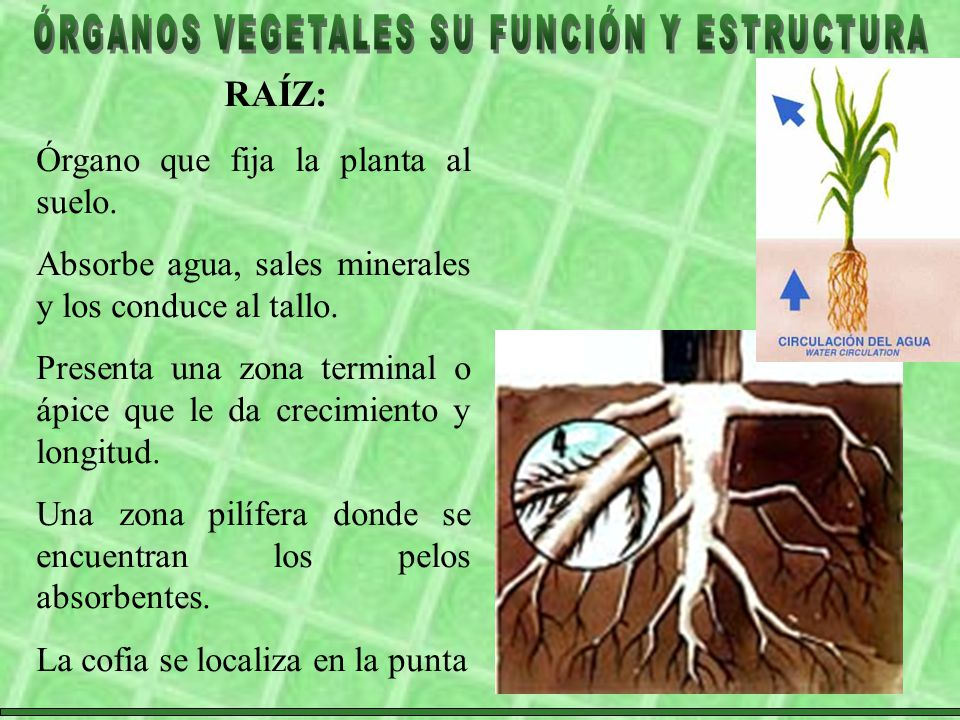 RAÍZ: Órgano que fija la planta al suelo.