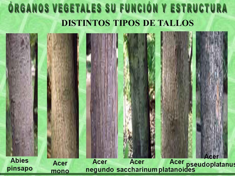 DISTINTOS TIPOS DE TALLOS