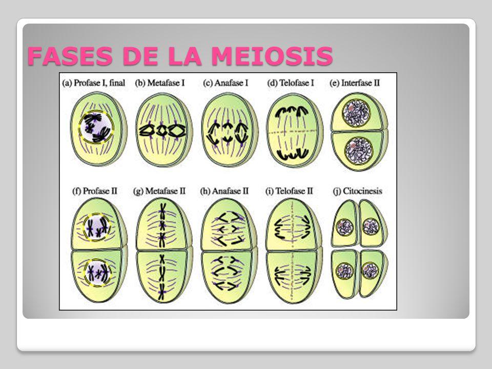 FASES DE LA MEIOSIS