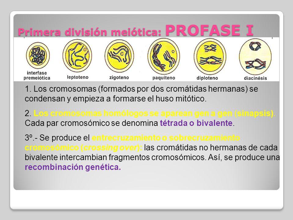 Primera división meiótica: PROFASE I