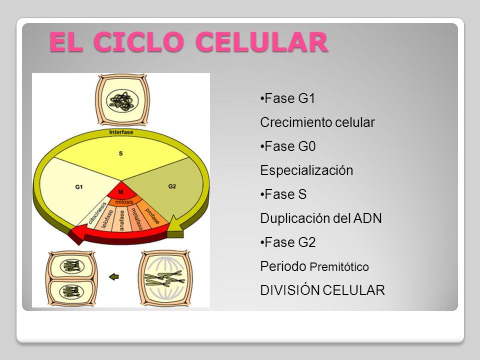 EL CICLO CELULAR Fase G1 Crecimiento celular Fase G0 Especialización