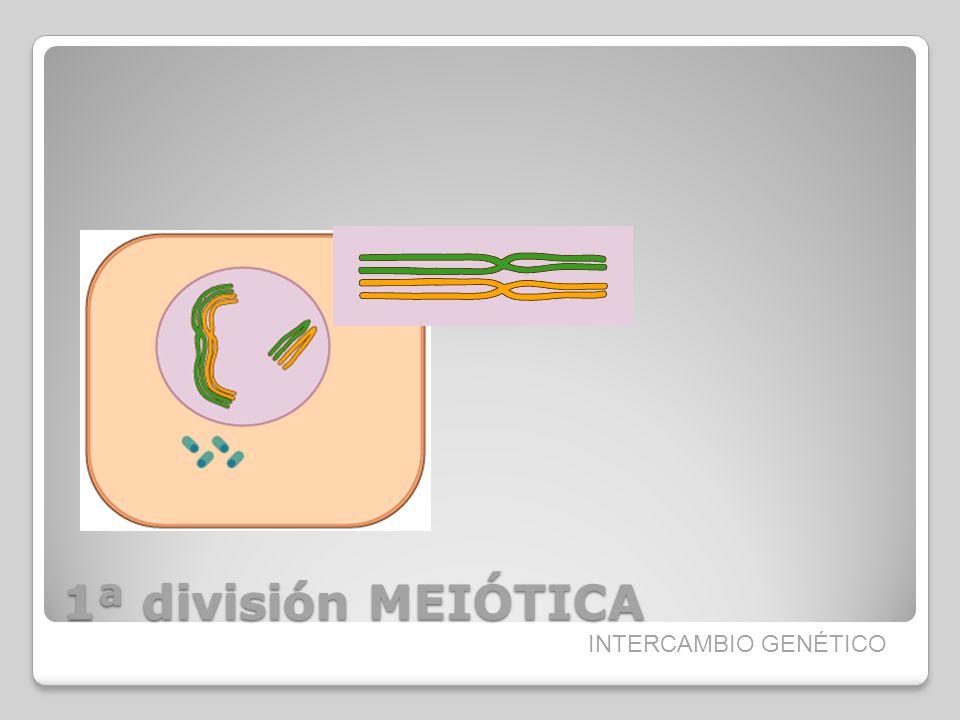 1ª división MEIÓTICA INTERCAMBIO GENÉTICO