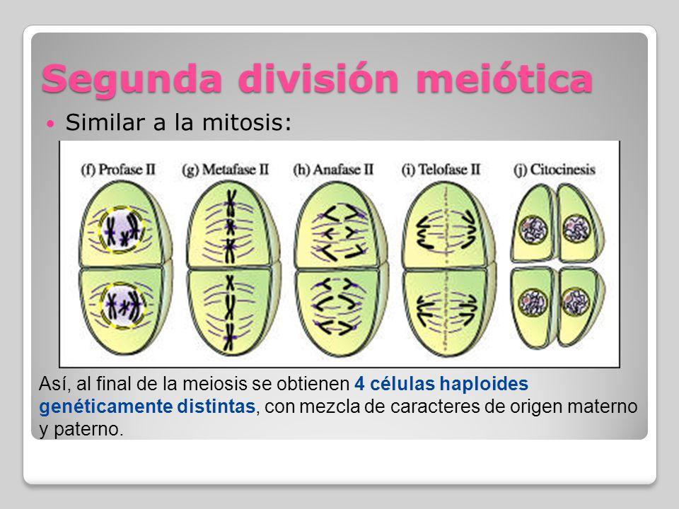Segunda división meiótica
