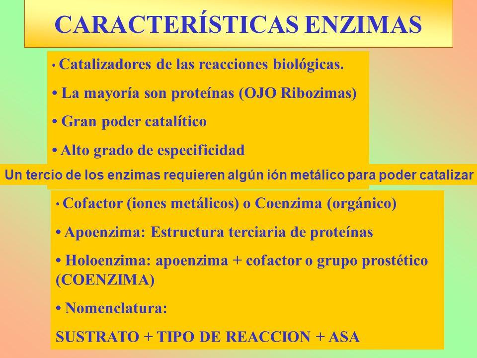 CARACTERÍSTICAS ENZIMAS