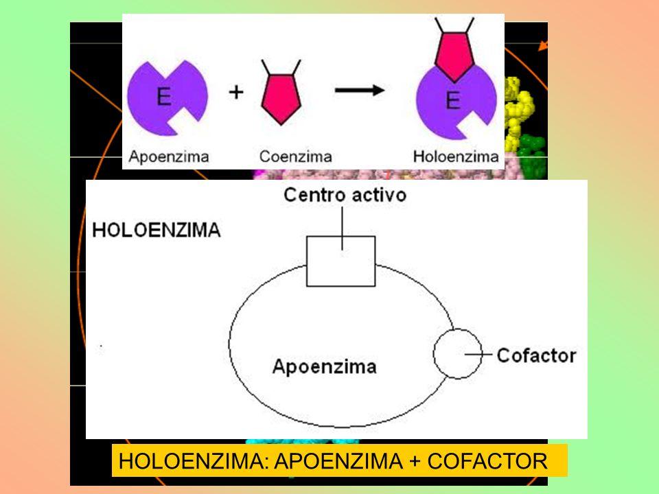 HOLOENZIMA: APOENZIMA + COFACTOR