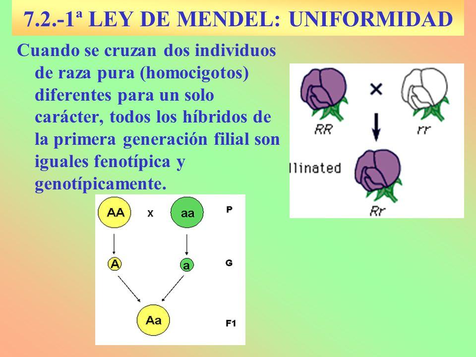 7.2.-1ª LEY DE MENDEL: UNIFORMIDAD
