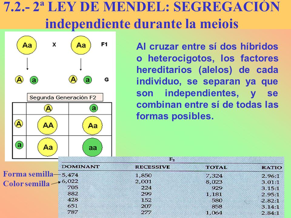 7.2.- 2ª LEY DE MENDEL: SEGREGACIÓN independiente durante la meiois