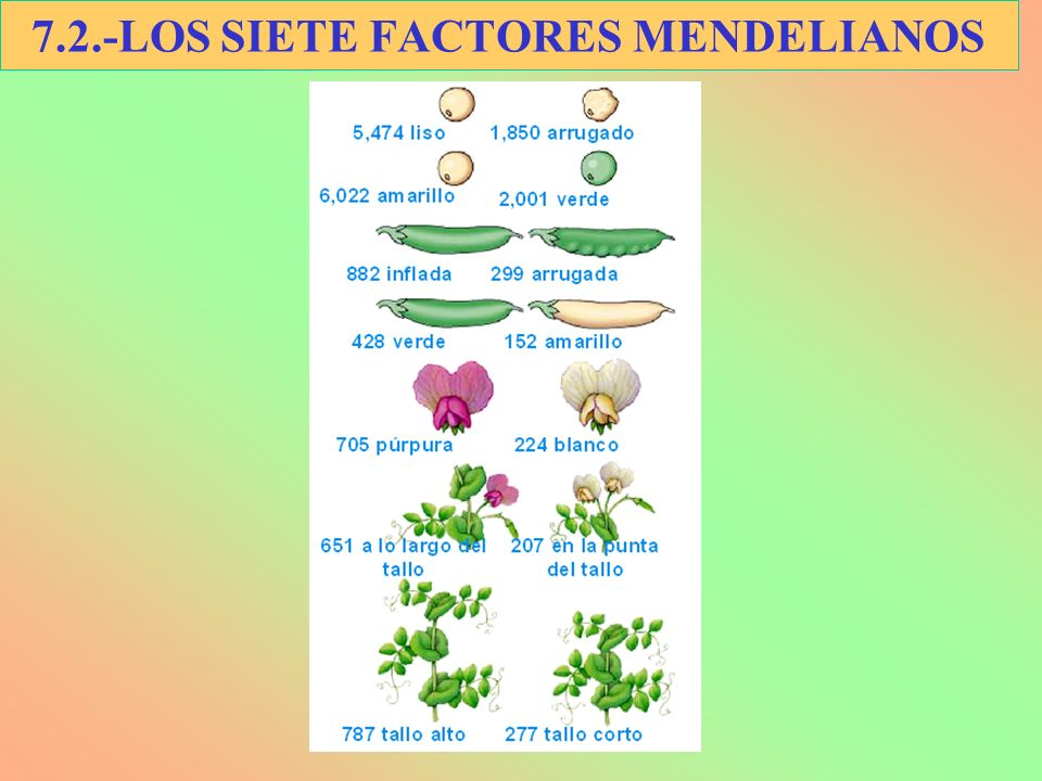 7.2.-LOS SIETE FACTORES MENDELIANOS