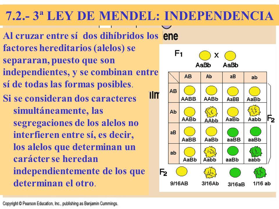 7.2.- 3ª LEY DE MENDEL: INDEPENDENCIA