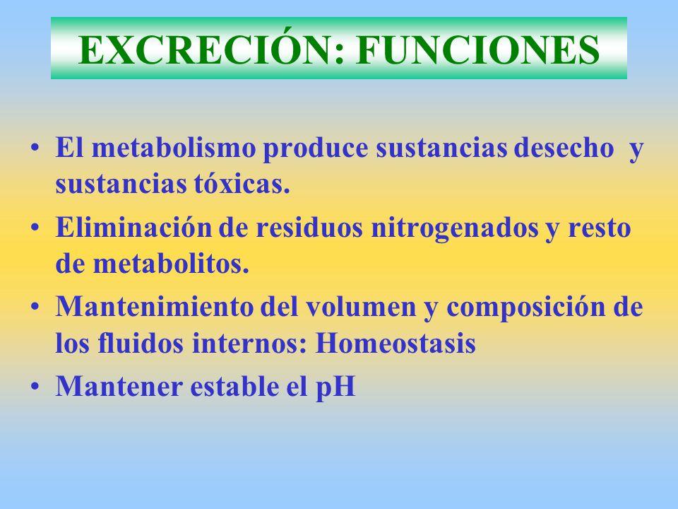 EXCRECIÓN: FUNCIONES El metabolismo produce sustancias desecho y sustancias tóxicas. Eliminación de residuos nitrogenados y resto de metabolitos.