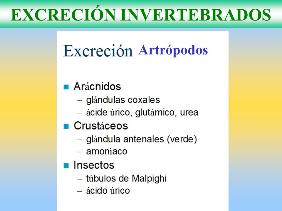 EXCRECIÓN INVERTEBRADOS